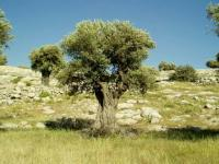 The olive harvest in Hama is estimated at 56000 Tons